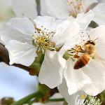 Chi sono le api