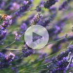Appi sulla lavanda Apicoltura biologica Gardin