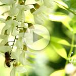 Apicoltura Gardin - ape che raccoglie nettare e polline