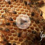Le api muratrici - Apicoltura Gardin