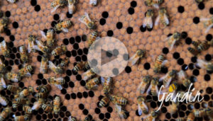 La nursery delle api - le api nutrici