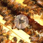 miele di castagno - Apicoltura biologica Gardin