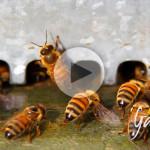 Come le api anziane aiutano le giovani bottinatrici