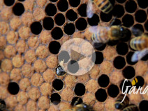 La nascita di un'ape - Apicoltura Gardin