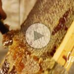 Smielatura del miele di melata - Apicoltura Gardin