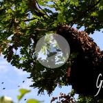 La sciamatura delle api - Apicoltura Gardin