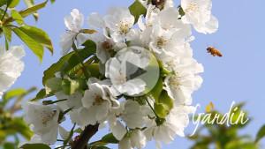 Le api sul ciliegio, impollinazione - Apicoltura Gardin