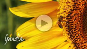 Le nostre api sui girasoli - Apicoltura Gardin