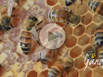 Come fanno le api a conservare il miele - Apicoltura Gardin