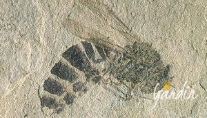 fossile di ape