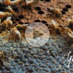 L'ape ladra