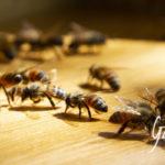 morte delle api