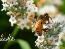 quanto vivono le api?